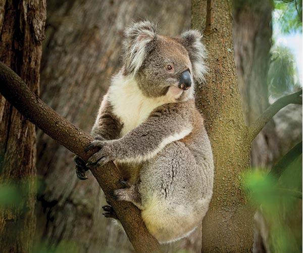 koala-adelaide-hills